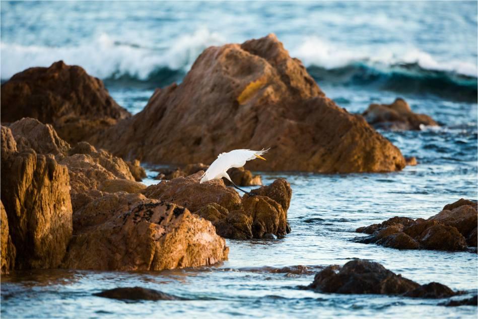 Cabo Egret - © Christopher Martin-1216