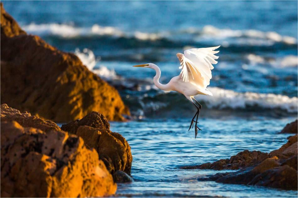 Cabo Egret - © Christopher Martin-1409-2