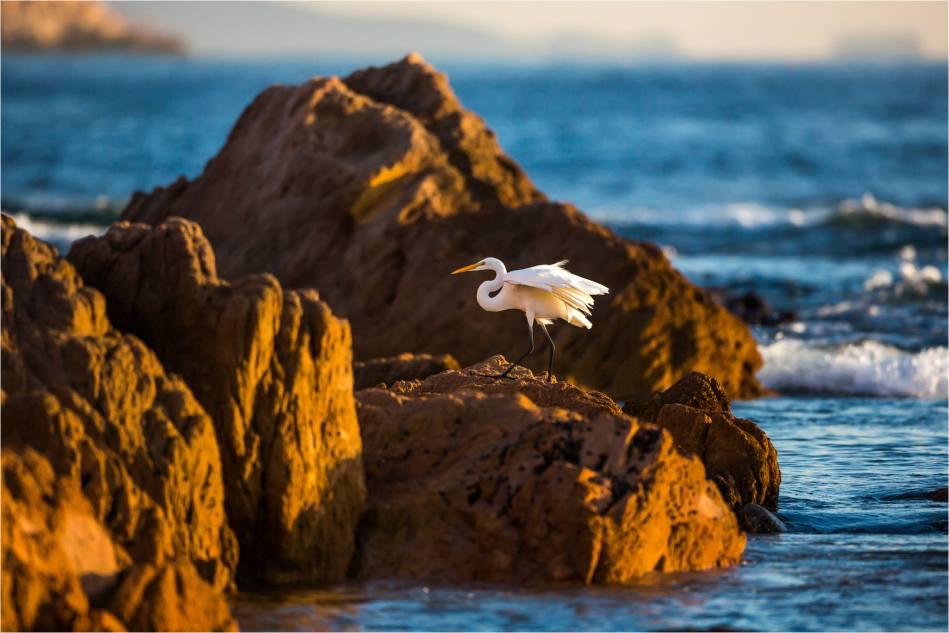 Cabo Egret - © Christopher Martin-1411