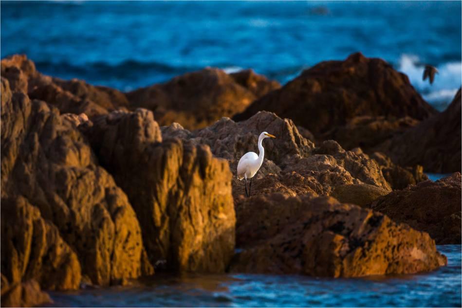 Cabo Egret - © Christopher Martin-1435