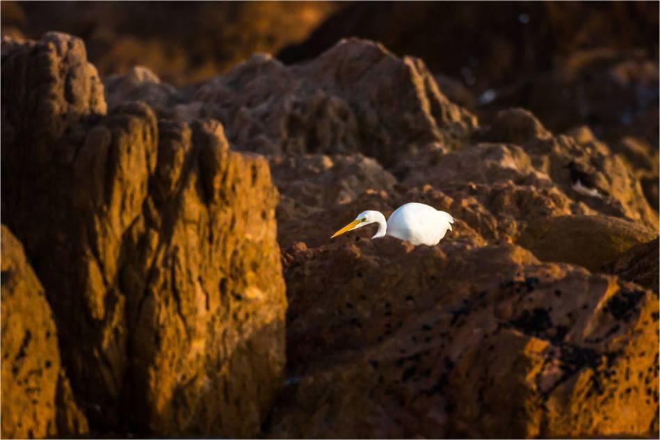 Cabo Egret - © Christopher Martin-1445