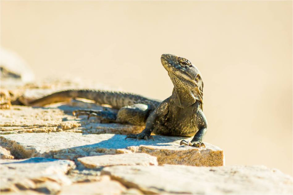Cabo Lizards - © Christopher Martin-3970