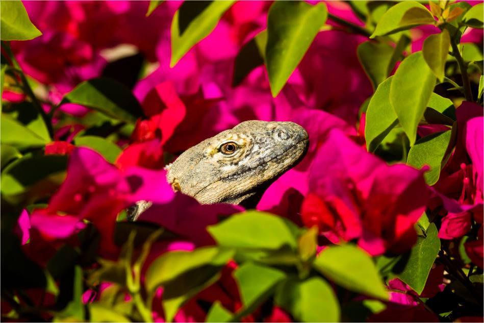 Iguana Lei - © Christopher Martin-4300