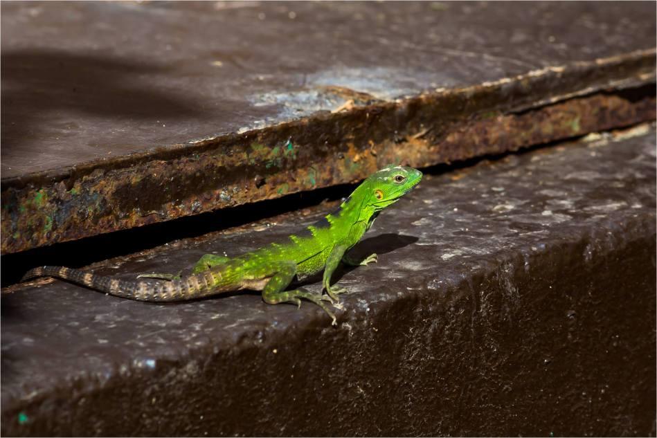 Cabo Lizards - © Christopher Martin-4400