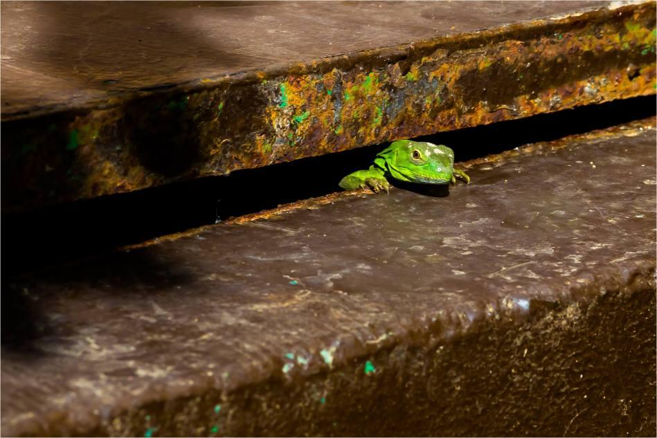 Lizard in Los Cabos - © Christopher Martin-4373