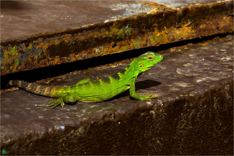 Lizard in Los Cabos - © Christopher Martin-4394