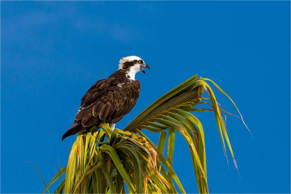 Los Cabos Osprey - © Christopher Martin-5933