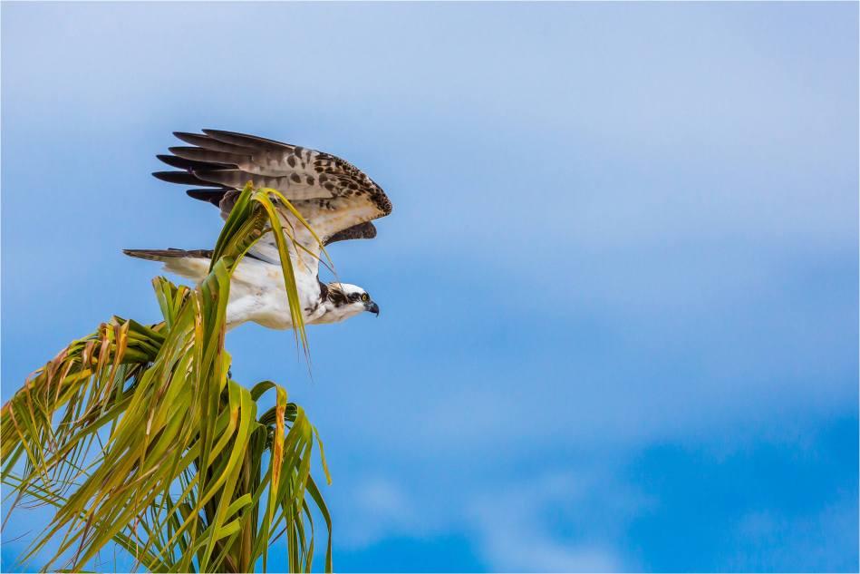 Los Cabos Osprey - © Christopher Martin-6119