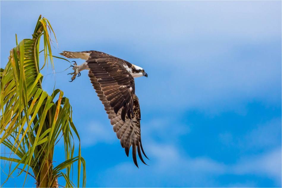 Los Cabos Osprey - © Christopher Martin-6120