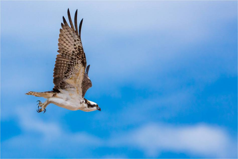 Los Cabos Osprey - © Christopher Martin-6121