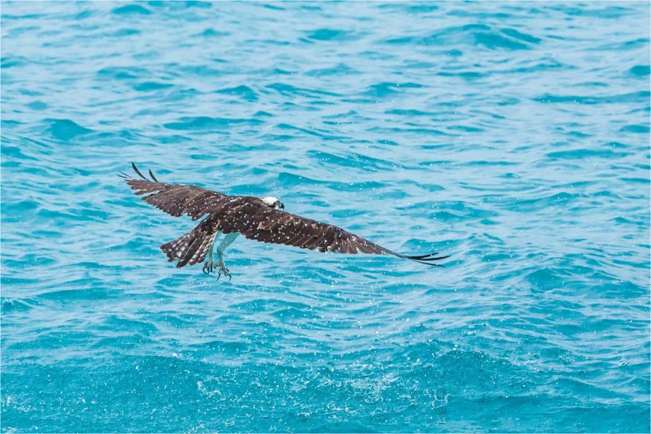 Los Cabos Osprey - © Christopher Martin-6132
