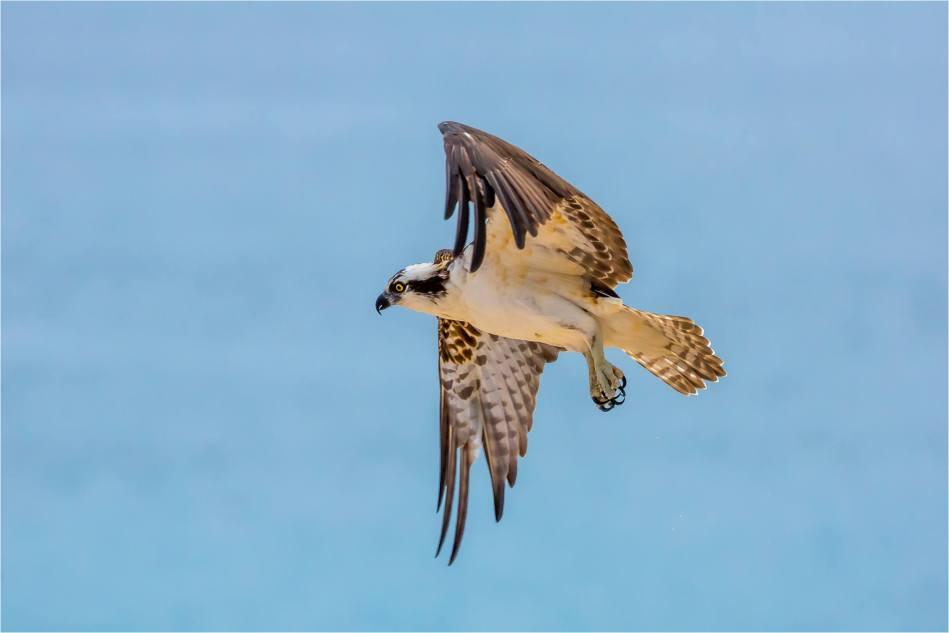 Los Cabos Osprey - © Christopher Martin-6159