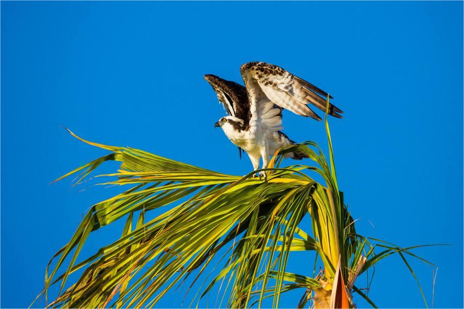 Los Cabos Osprey - © Christopher Martin-7437