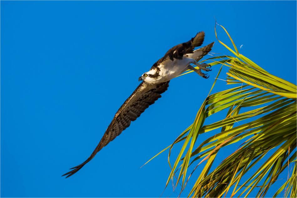 Los Cabos Osprey - © Christopher Martin-7440