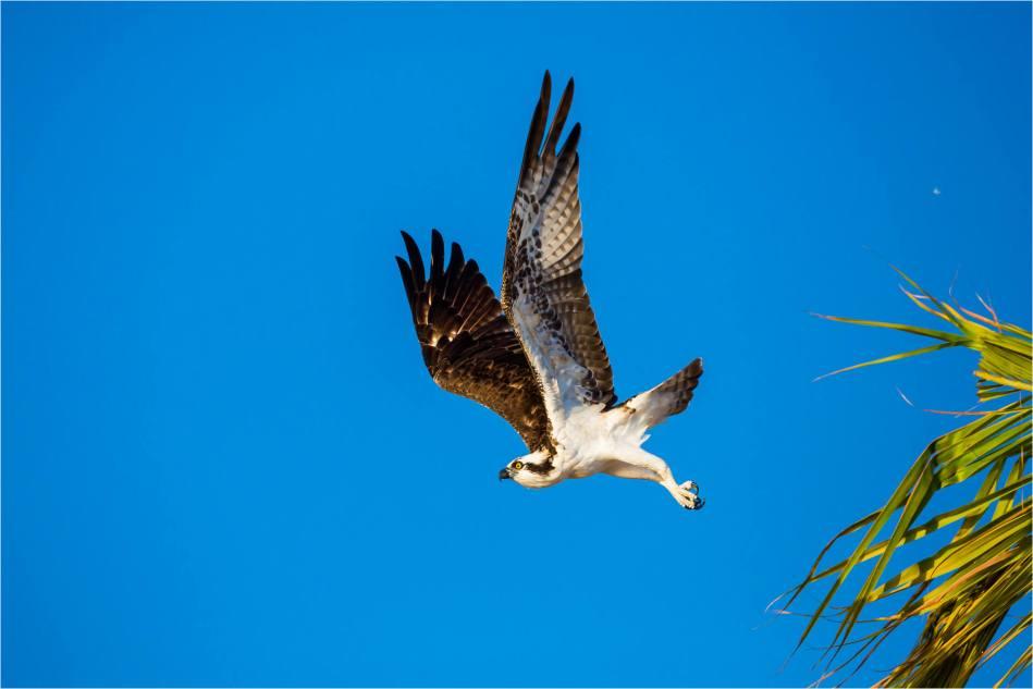 Los Cabos Osprey - © Christopher Martin-7441-2