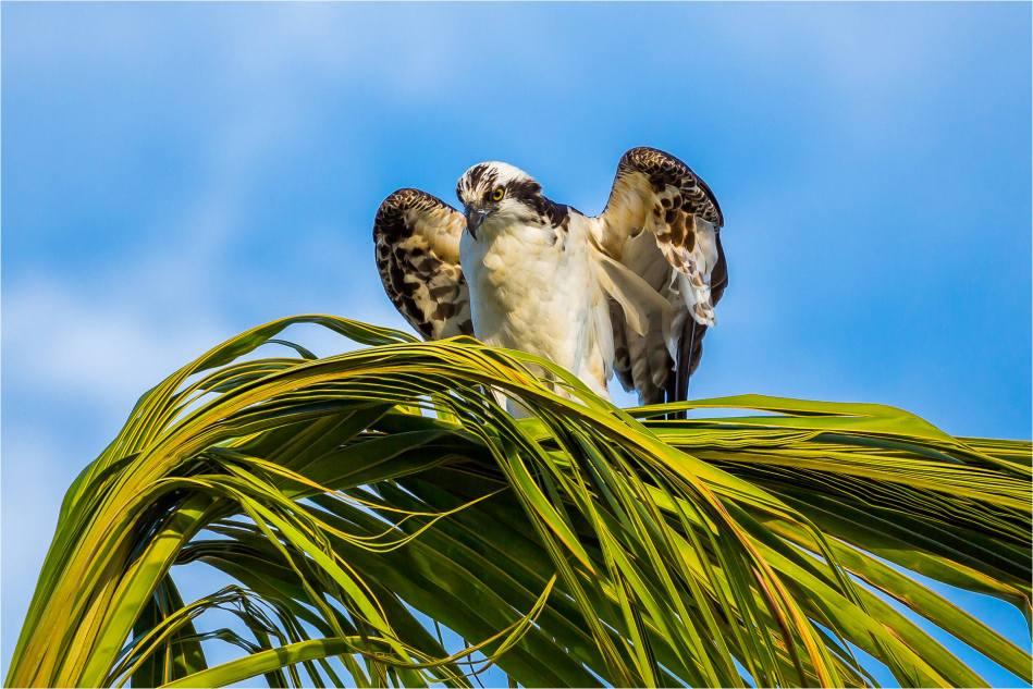 Los Cabos Osprey - © Christopher Martin-7790