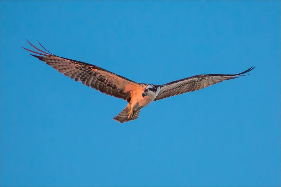 Dawn Osprey - © Christopher Martin-7046