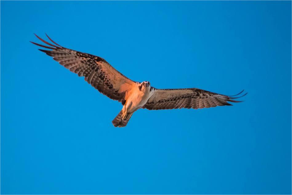 Dawn Osprey - © Christopher Martin-7052
