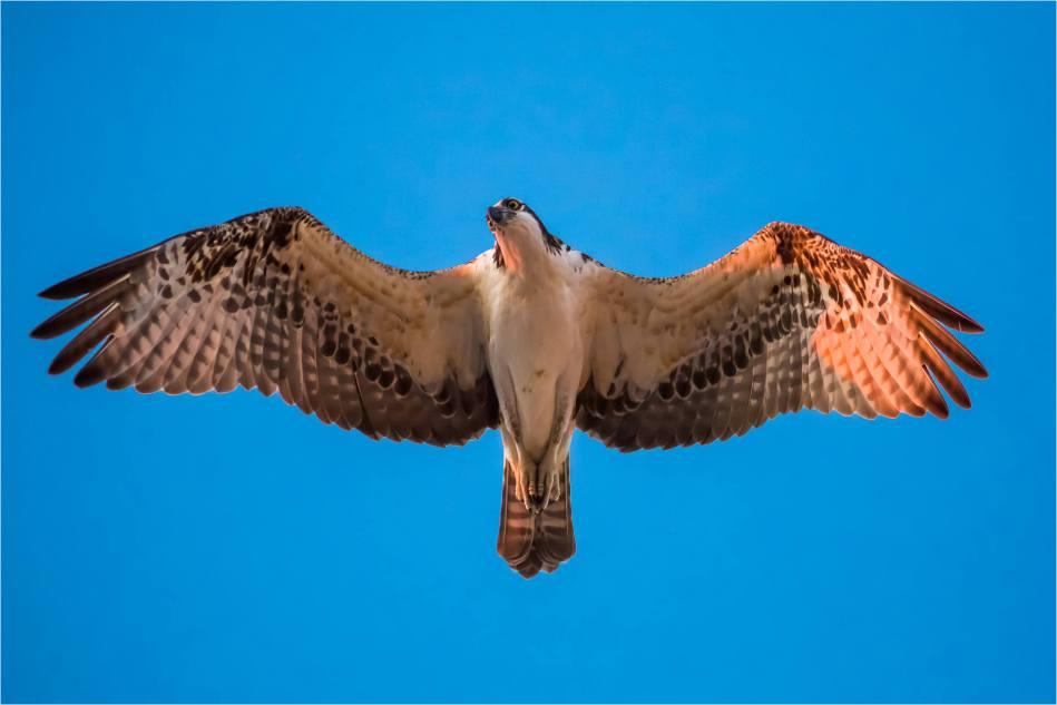 Dawn Osprey - © Christopher Martin-7060