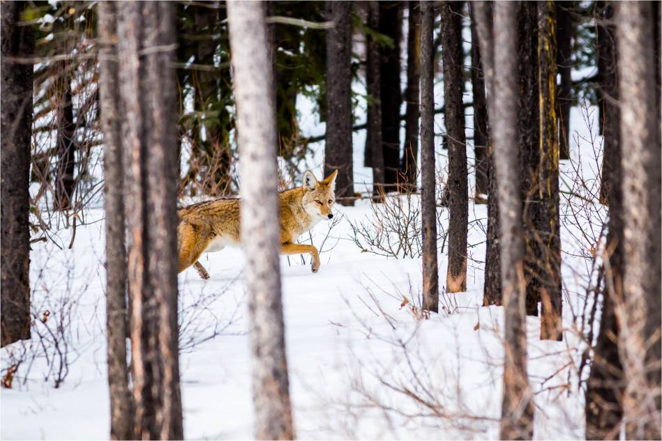 Kananaskis Coyote - © Christopher Martin-9379-2