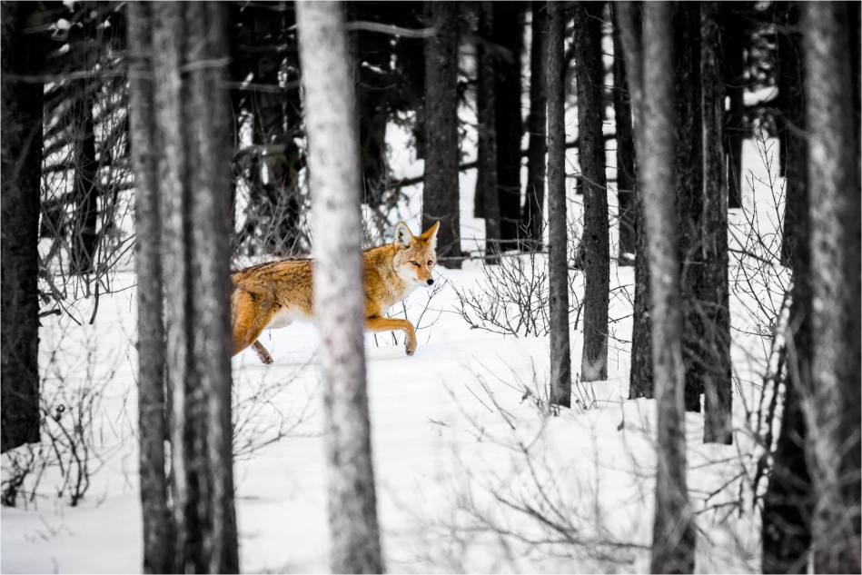 Kananaskis Coyote - © Christopher Martin-9379