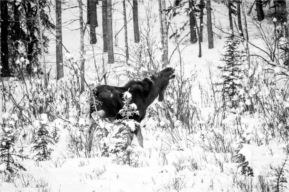 Priddis Bull Moose - © Christopher Martin-9463