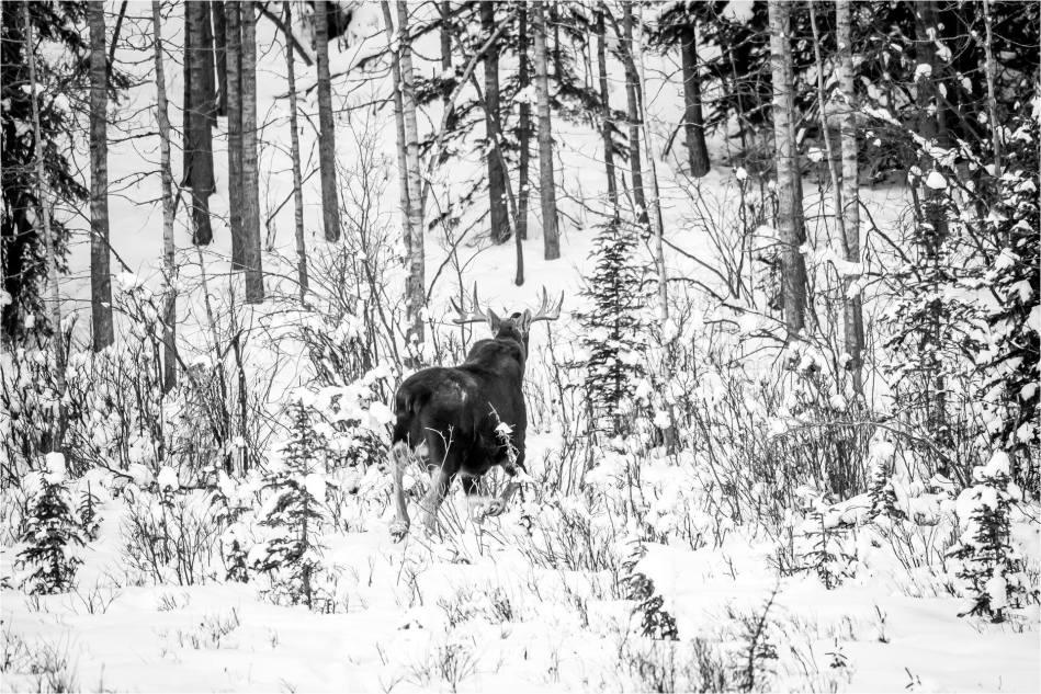 Priddis Bull Moose - © Christopher Martin-9468