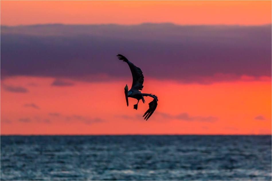 Sunrise Pelican - © Christopher Martin-4764