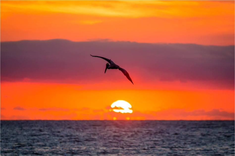 Sunrise Pelican - © Christopher Martin-4776-2