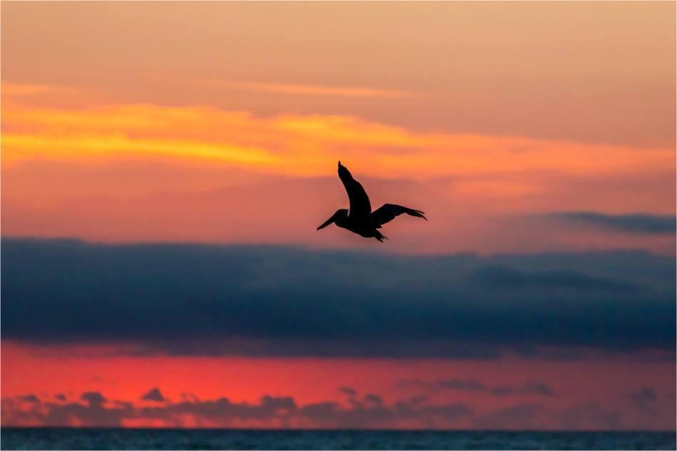 Sunrise Pelicans - © Christopher Martin-4623