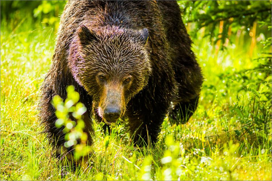 Banff Grizzly Bear - © Christopher Martin-8215