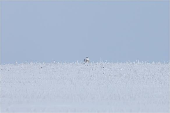Lonely Snowy Owl - © Christopher Martin-9963