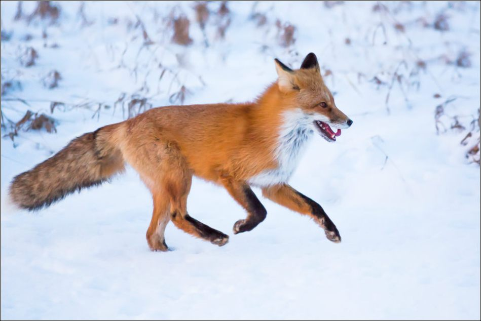 Foxy runner - © Christopher Martin-0195