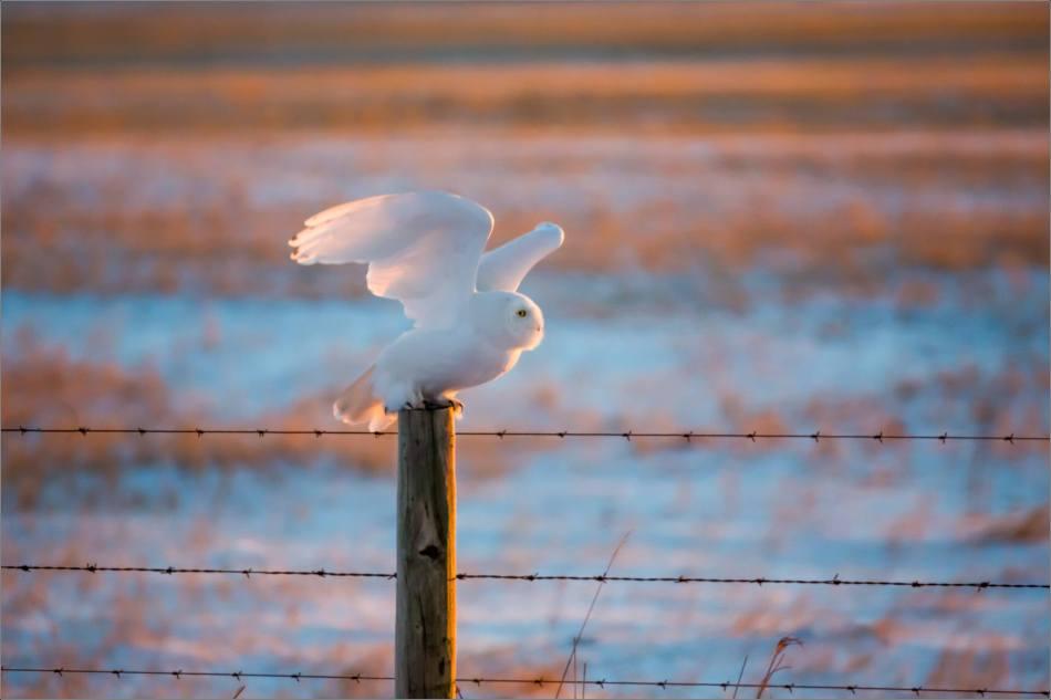 Irricana Snowy Owl - © Christopher Martin-1415