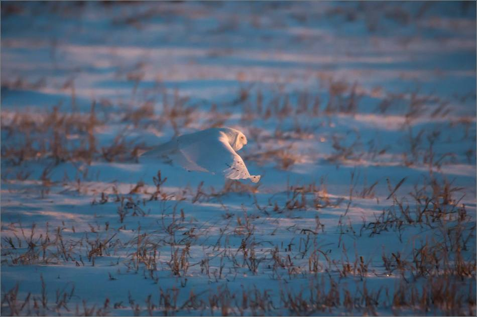 Irricana Snowy Owls - © Christopher Martin-1458