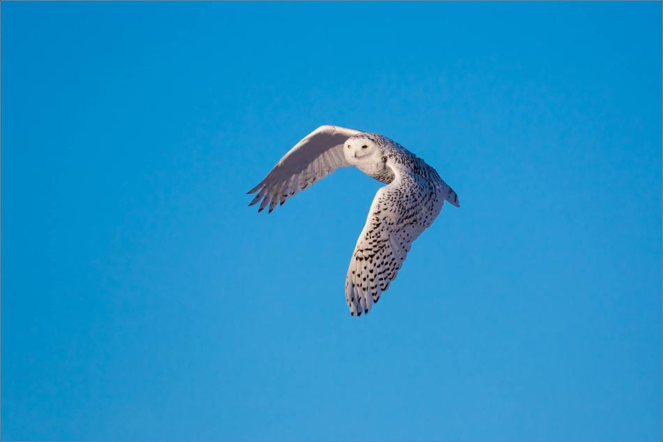 Snowy owl mid-flight - © Christopher Martin-1519