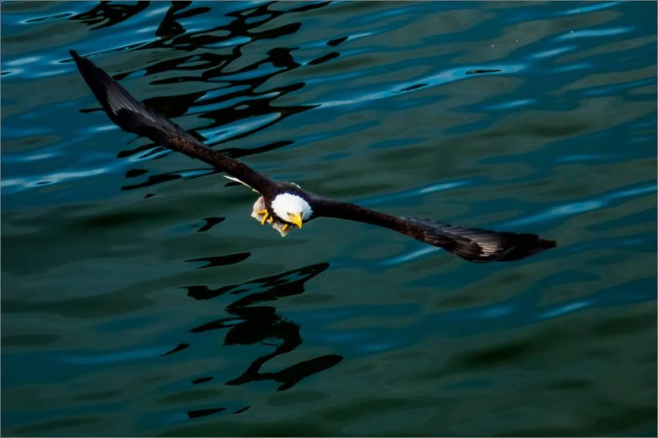 Bald Eagle in the Prince Rupert harbour - 2014 © Christopher Martin