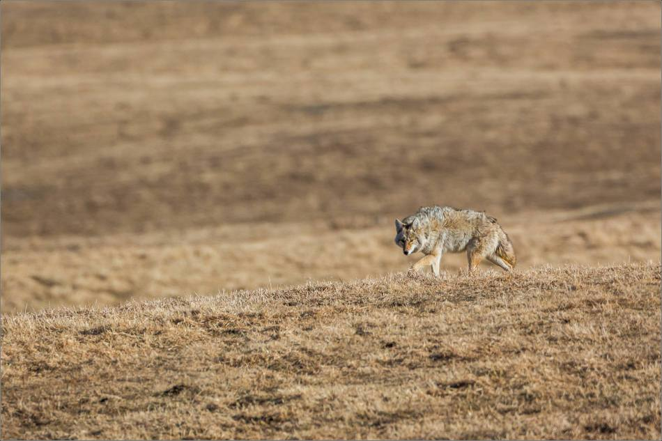 Coyote scout - © Christopher Martin-0668
