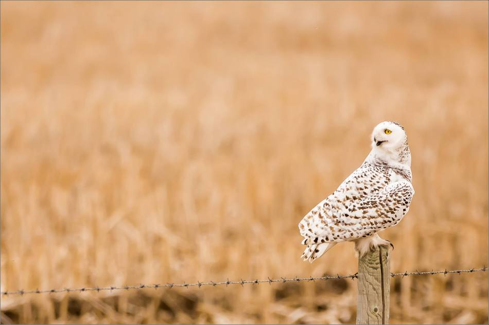 Hot snowy owl - © Christopher Martin-1697