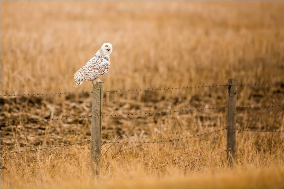 Hot snowy owl - © Christopher Martin-1702
