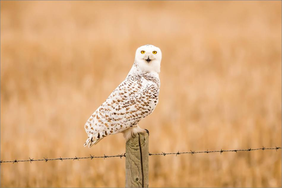 Hot snowy owl - © Christopher Martin-1721