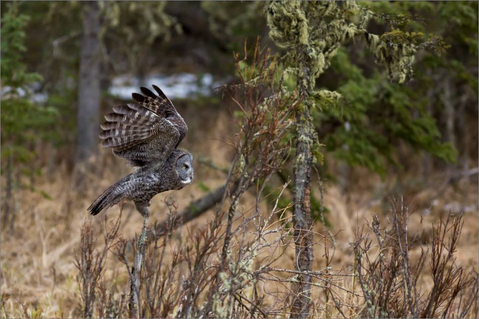 Bragg Creek Great Gray Owl - © Christopher Martin-4314