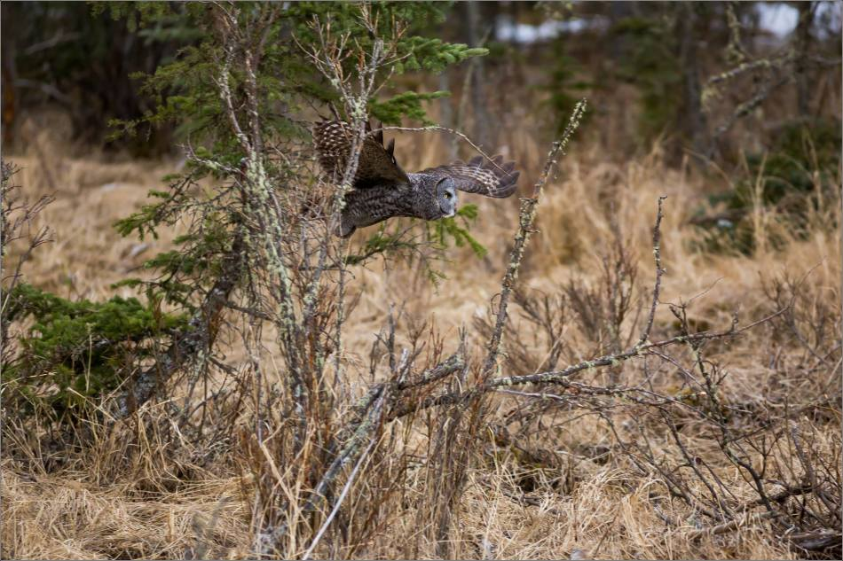 Bragg Creek Great Gray Owl - © Christopher Martin-4319