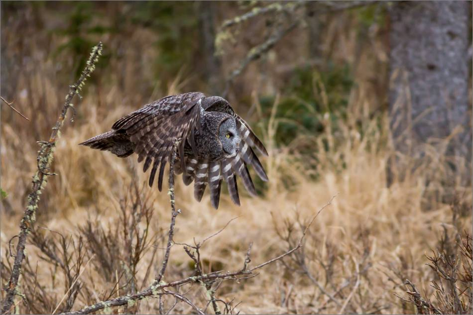 Bragg Creek Great Gray Owl - © Christopher Martin-4320