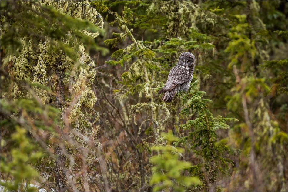 Bragg Creek Great Gray Owl - © Christopher Martin-4354