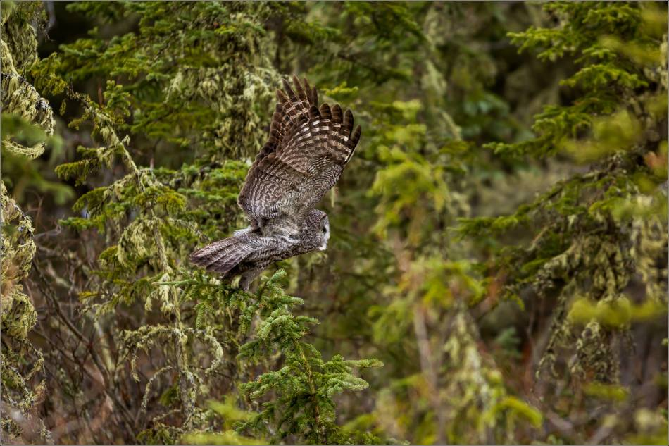 Bragg Creek Great Gray Owl - © Christopher Martin-4361