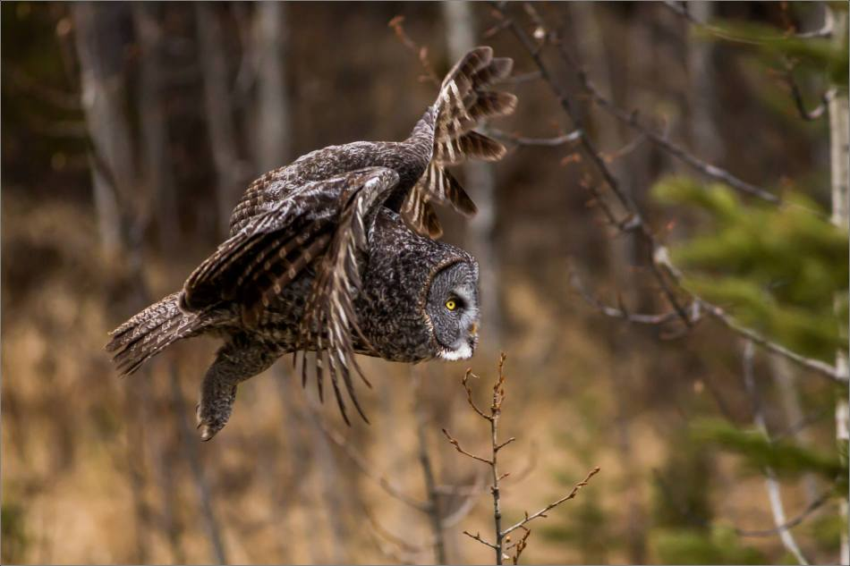 Bragg Creek Great Gray Owl - © Christopher Martin-4561