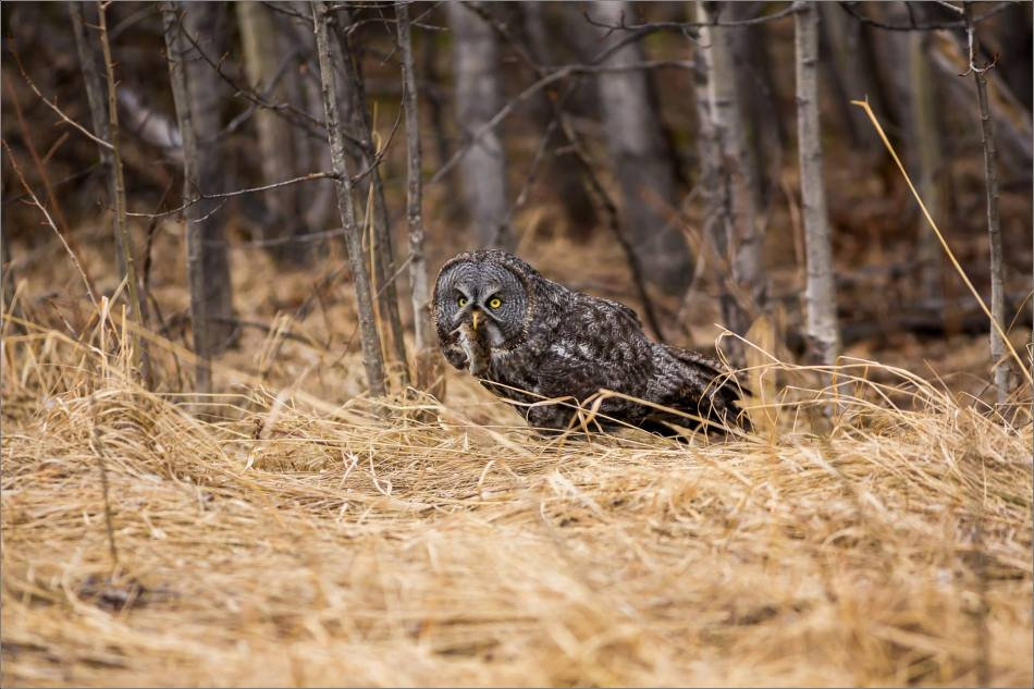 Bragg Creek Great Gray Owl - © Christopher Martin-4603