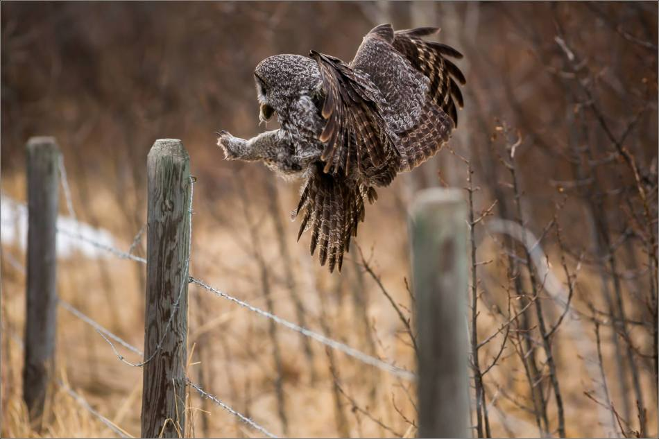 Bragg Creek Great Gray Owl - © Christopher Martin-4618