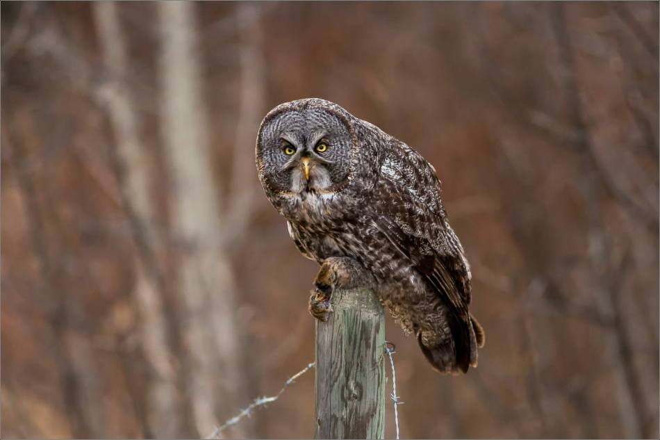 Bragg Creek Great Gray Owl - © Christopher Martin-4667